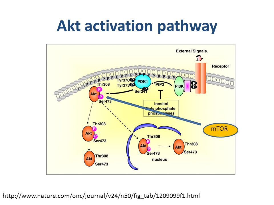 Akt activation pathway mTOR http://www.nature.com/onc/journal/v24/n50/fig_tab/1209099f1.html