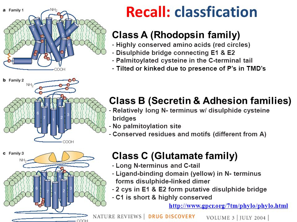 Class A (Rhodopsin family) - Highly conserved amino acids (red circles) - Disulphide bridge connecting E1 & E2 - Palmitoylated cysteine in the C-terminal tail - Tilted or kinked due to presence of P's in TMD's Class B (Secretin & Adhesion families) -Relatively long N- terminus w/ disulphide cysteine bridges -No palmitoylation site -Conserved residues and motifs (different from A) Class C (Glutamate family) -Long N-terminus and C-tail -Ligand-binding domain (yellow) in N- terminus forms disulphide-linked dimer -2 cys in E1 & E2 form putative disulphide bridge -C1 is short & highly conserved http://www.gpcr.org/7tm/phylo/phylo.html Recall: classfication