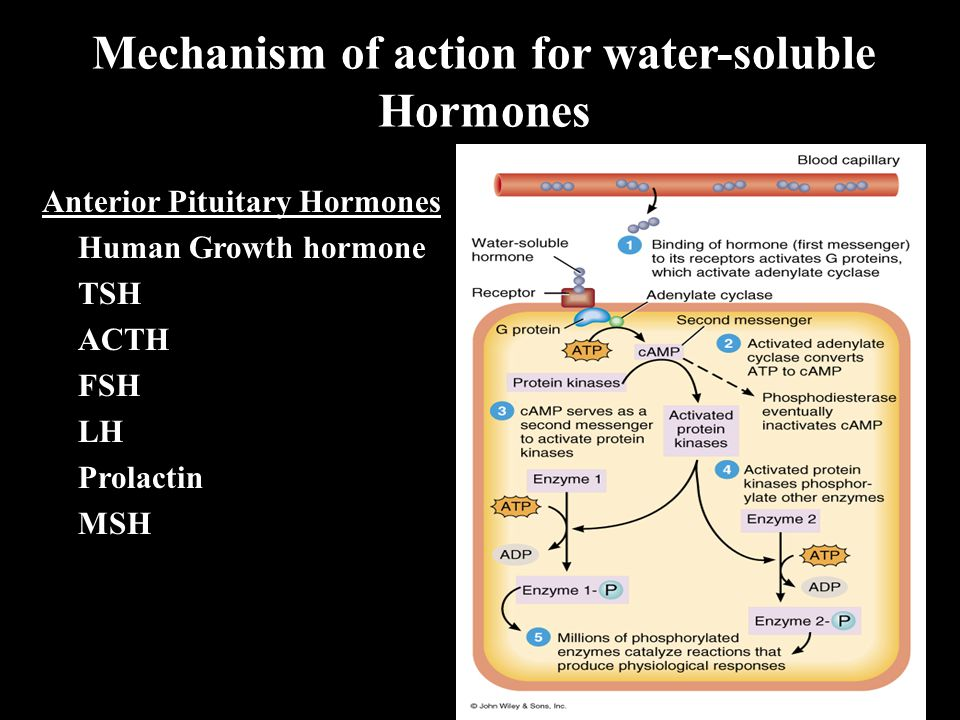 Mechanism of action for water-soluble Hormones Anterior Pituitary Hormones Human Growth hormone TSH ACTH FSH LH Prolactin MSH