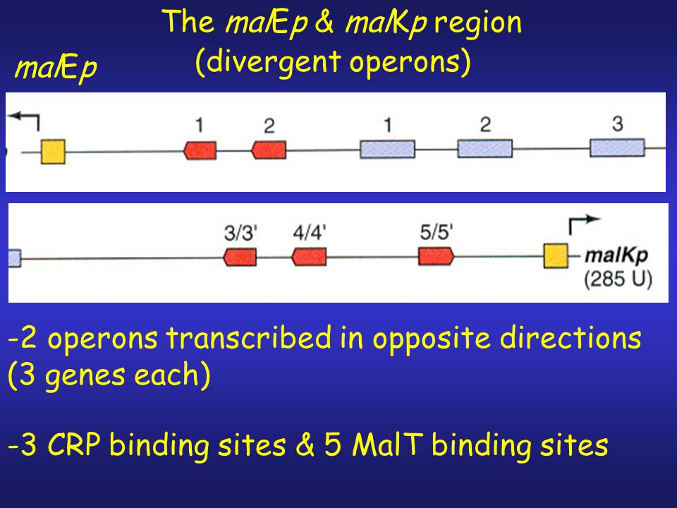 1. mal regulon regulated by CRP 2. MalT also regulates the mal promoters -requires ATP -activated by inducer (maltotriose) -Some mal promoters malEp &