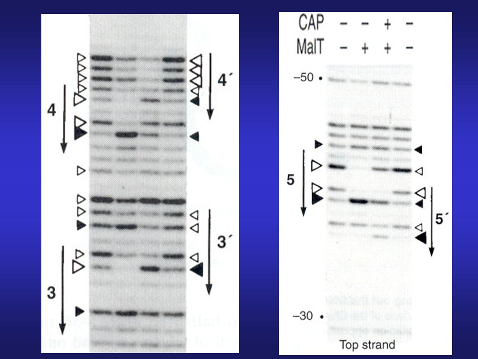 DNA footprinting showing 3-bp shift in MalT binding after CRP (CAP) binding -MalT has higher affinity for sites 3, 4, and 5 than for sites 3', 4', and 5'.