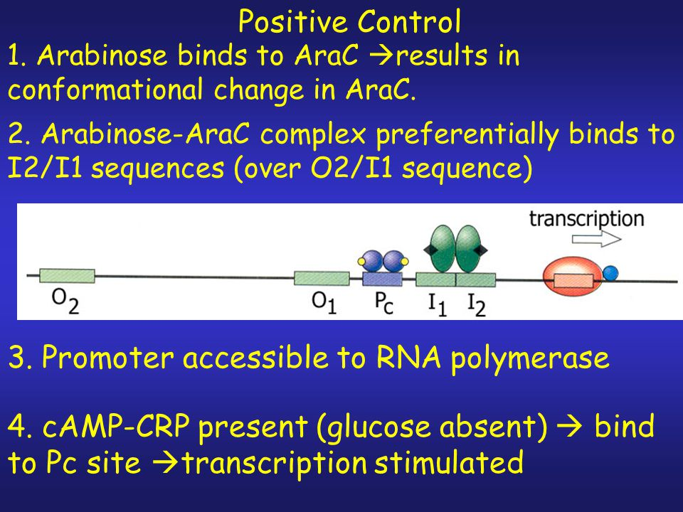 Negative control- monomers of AraC bind to O2 and I1 looping out the intervening sequence (210 bp) & blocking access to the promoter by RNA polymerase Absence of Arabinose