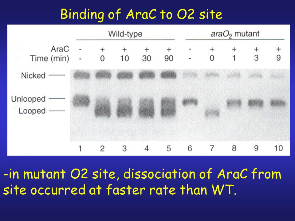 2.Looped DNA migrates differently than unlooped on agarose gel.