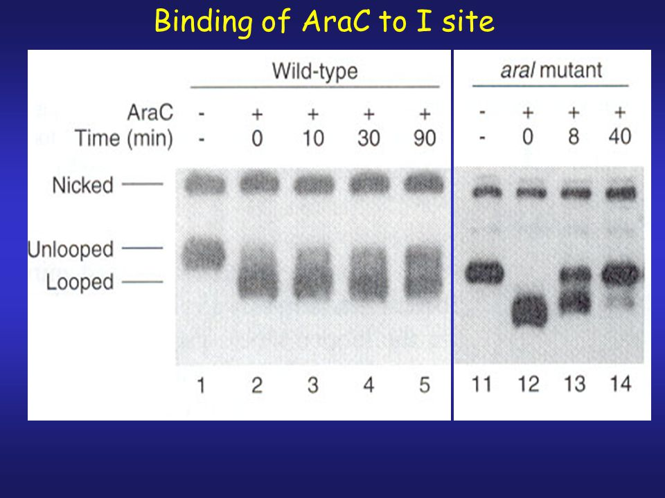 Binding of AraC to O2 site -in mutant O2 site, dissociation of AraC from site occurred at faster rate than WT.