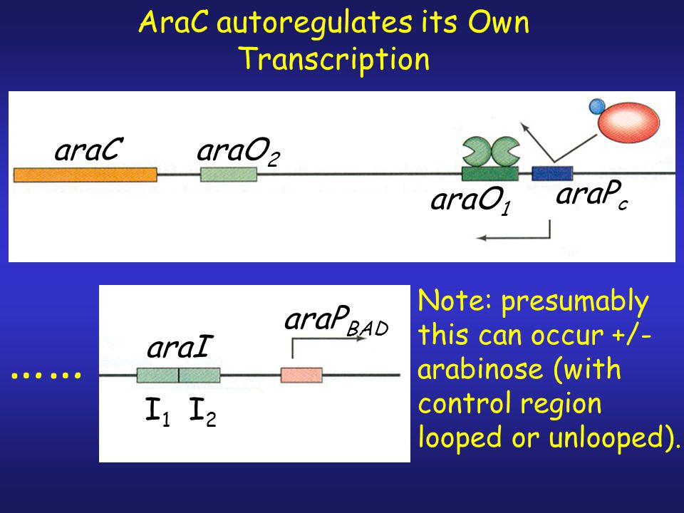 Notes on Regulation of the Arabinose Operon 1. Looping/unlooping is reversible. Add AraC  loop forms, add arabinose  loop breaks, remove arabinose (
