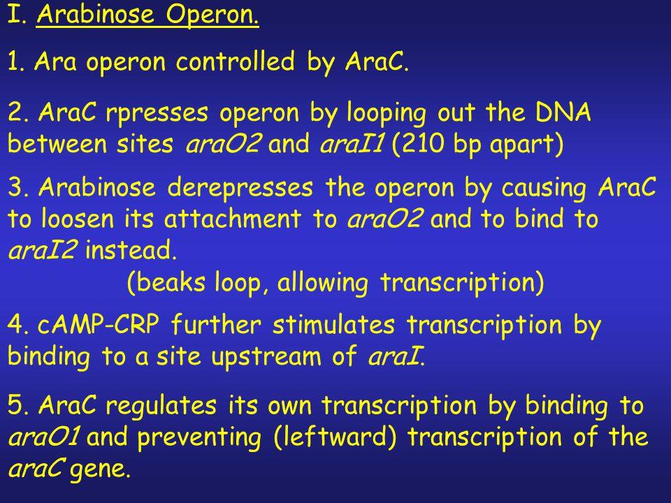 Conclusions I.Maltose Operon. 1. Mal operon controlled by CRP & MalT (transcription factor) 2.