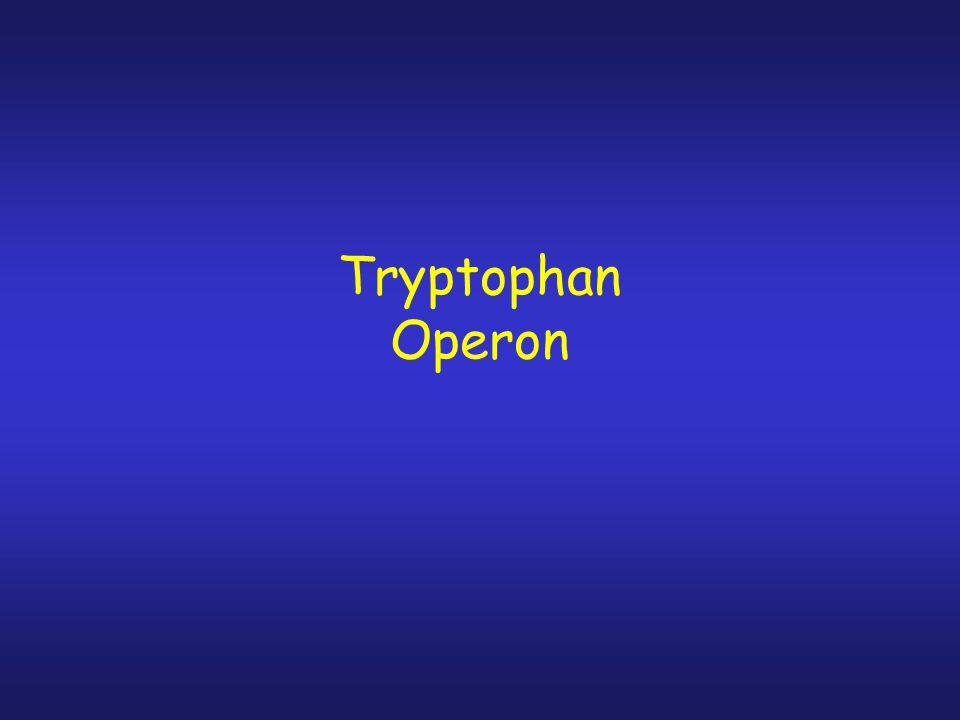 I. Arabinose Operon. 1. Ara operon controlled by AraC. 2. AraC rpresses operon by looping out the DNA between sites araO2 and araI1 (210 bp apart) 3.