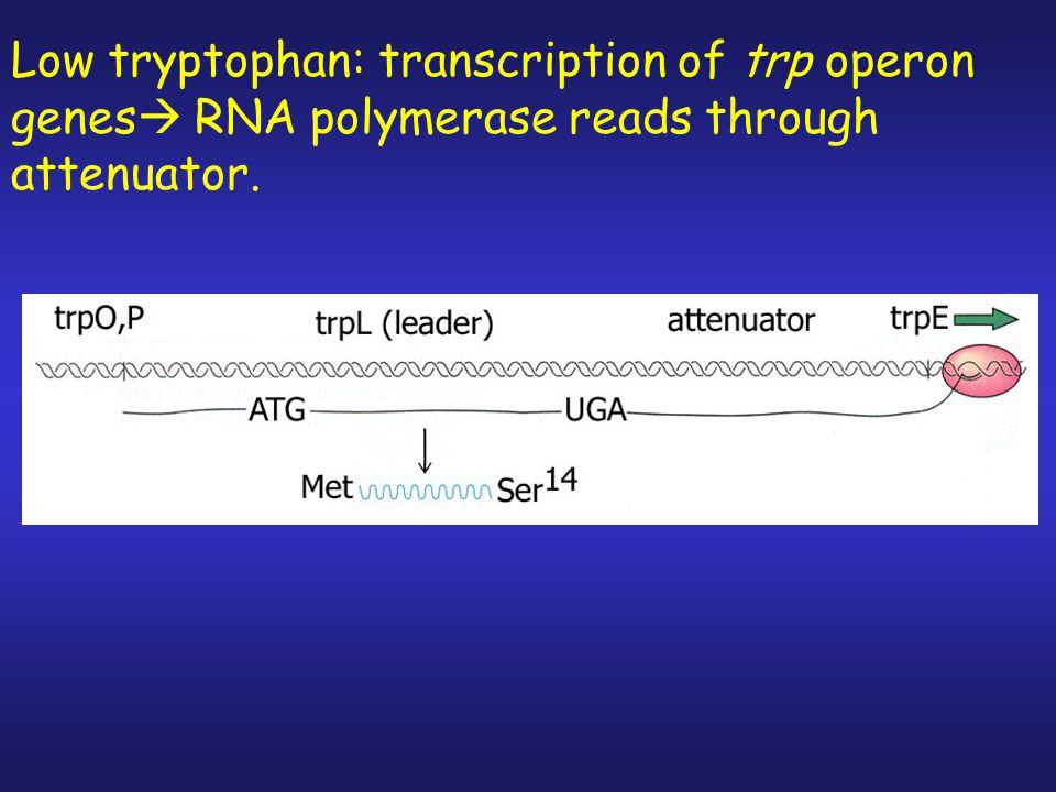 … … Attenuator Region of Trp Operon