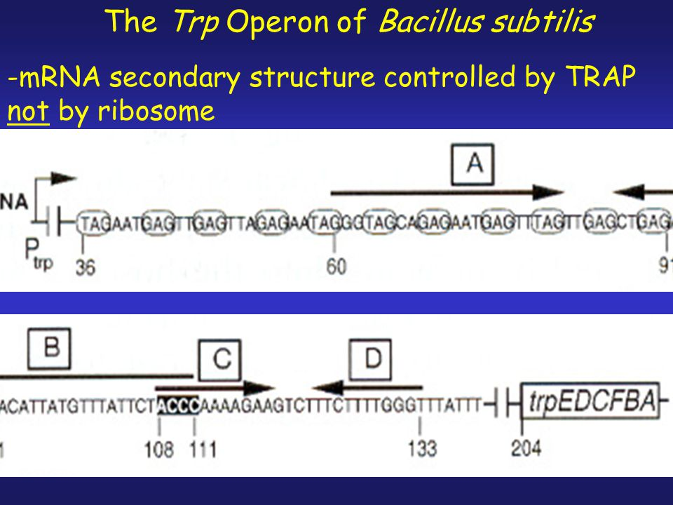 -This mechanism involves: transcriptional- translational coupling.