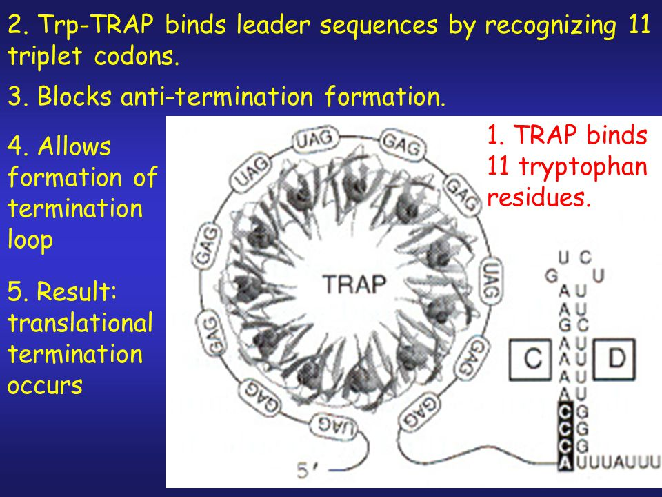 1.Attenuation response controlled by trp RNA- binding attenuation protein (TRAP) 2.