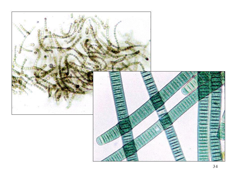 33 Laju Fiksasi Nitrogen N 2 fixing systemNitrogen Fixation (kg N/hect/year) Rhizobium-legume200-300 Cyanobacteria- moss30-40 Rhizosphere associations 2-25 Free- living1-2
