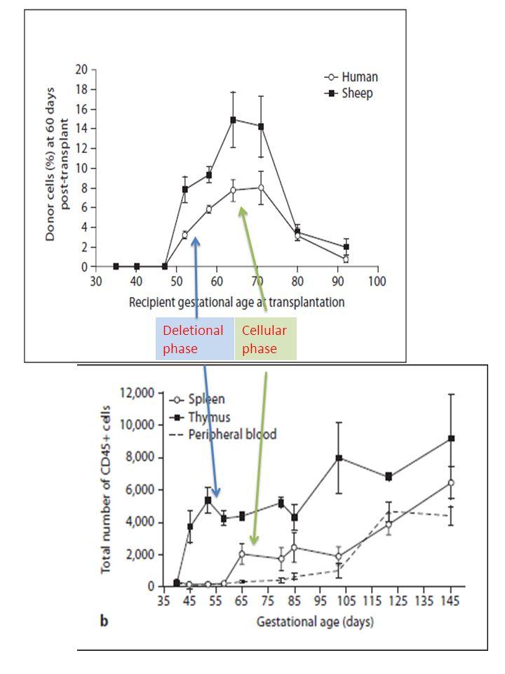 Deletional phase Cellular phase