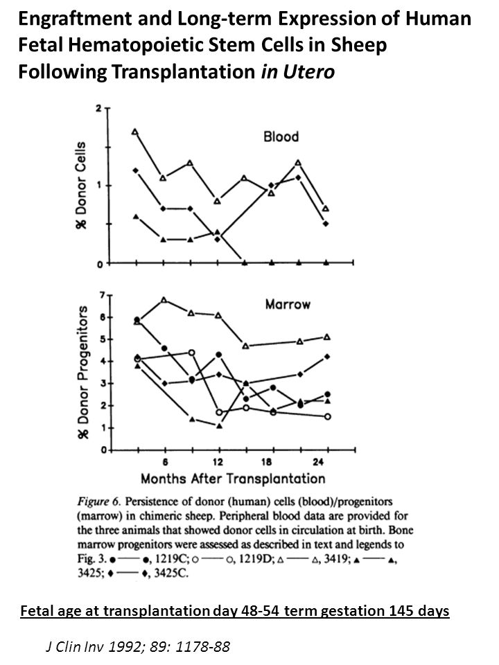 Engraftment and Long-term Expression of Human Fetal Hematopoietic Stem Cells in Sheep Following Transplantation in Utero Fetal age at transplantation day 48-54 term gestation 145 days J Clin Inv 1992; 89: 1178-88