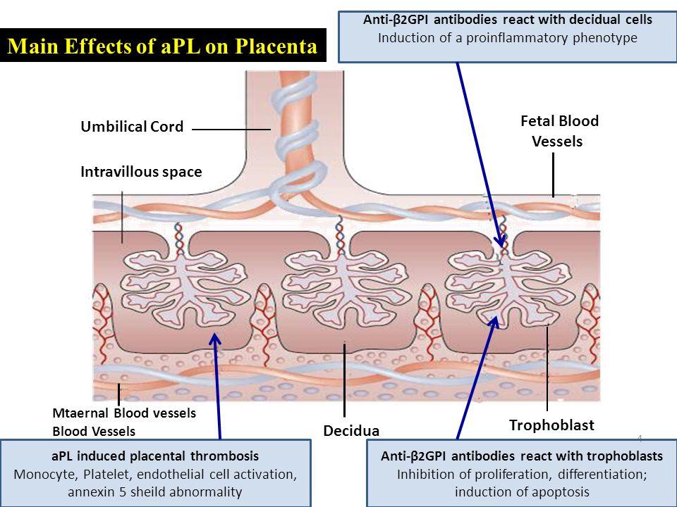 4 Intravillous space Umbilical Cord Fetal Blood Vessels Decidua Trophoblast Mtaernal Blood vessels Blood Vessels aPL induced placental thrombosis Mono
