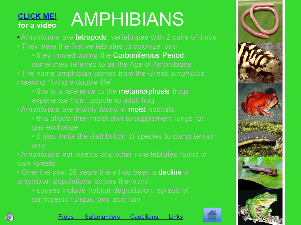 FROGS Amphibians Salamanders Caecilians Links Aquatic and terrestrial amphibian powerful hind legs make frogs more specialized for land Most of the frog life cycle is spent on land, however, eggs are laid in the water 1.Egg (encapsulated in jelly-like material) – frogs lay their eggs in water so they do not dehydrate 2.Larva = Tadpole (legless, aquatic-eater with gills that resembles a fish) – tadpoles undergo metamorphosis to become adult frogs 3.Frog (terrestrial insect-eater with lungs) – frogs live mainly on land in moist habitats Toads are frogs with rough skin that live permanently on land Some frogs (like poison arrow frogs) have deadly poison on their skin, which is brightly colored to ward off predators Frogs are usually quiet, but during their breeding season the air is filled with their loud mating calls