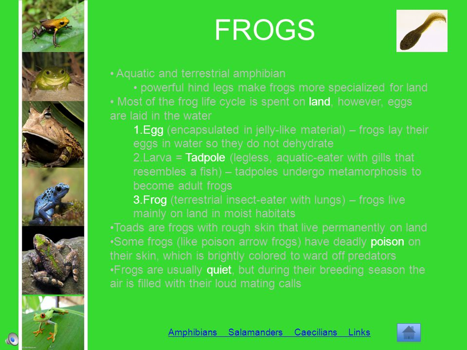 FROGS Amphibians Salamanders Caecilians Links Aquatic and terrestrial amphibian powerful hind legs make frogs more specialized for land Most of the fr