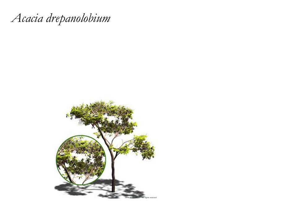 Acacia drepanolobium