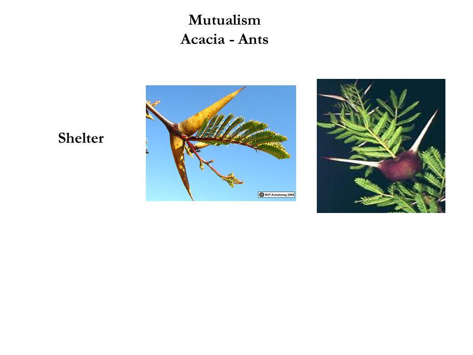 Mutualism Acacia - Ants Shelter Food