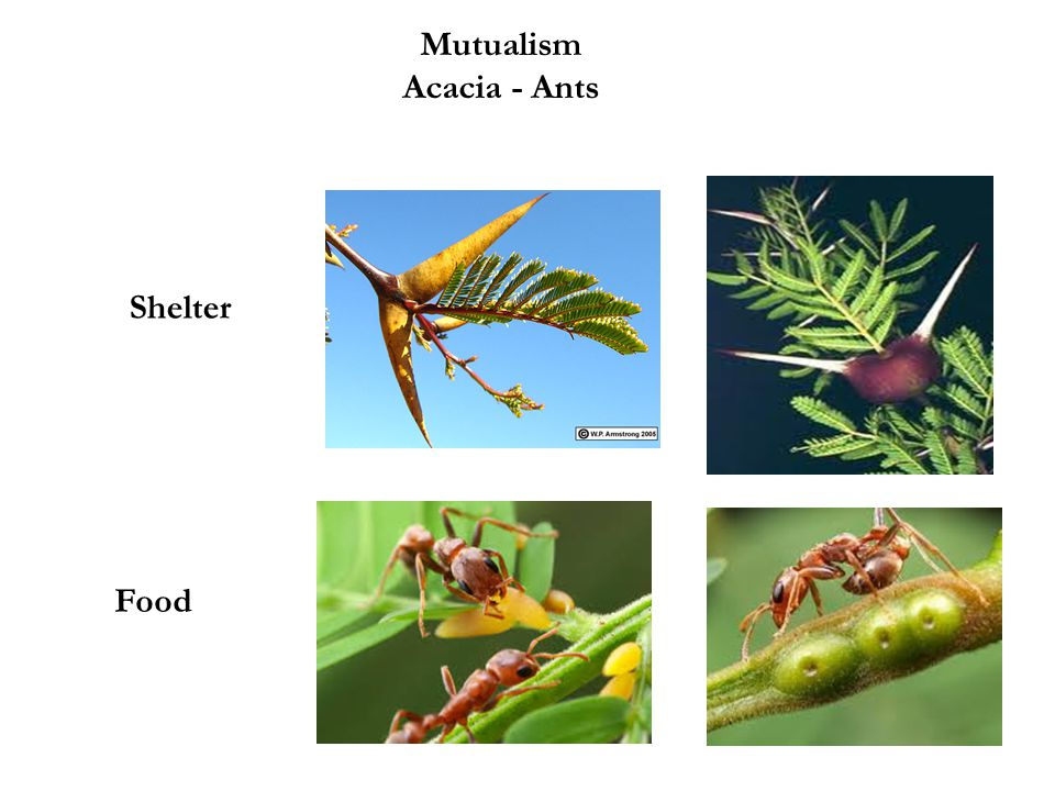 Mutualism Acacia - Ants Shelter Food