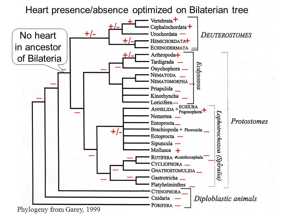 I. Bilaterians Phylogeny from Garey, 1999 + + + +/- _ _ _ _ _ _ _ _ _ _ _ _ _ _ _ _ _ _ _ _ _ _ _ _ + + + + _ _ _ _ _ _ _ _ _ _ No No heart in ancesto