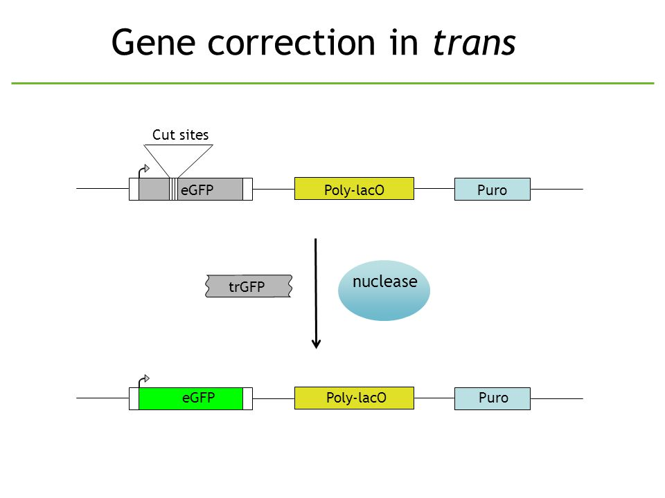 Gene correction in trans PuroeGFPPoly-lacO Cut sites trGFP nuclease PuroeGFPPoly-lacO