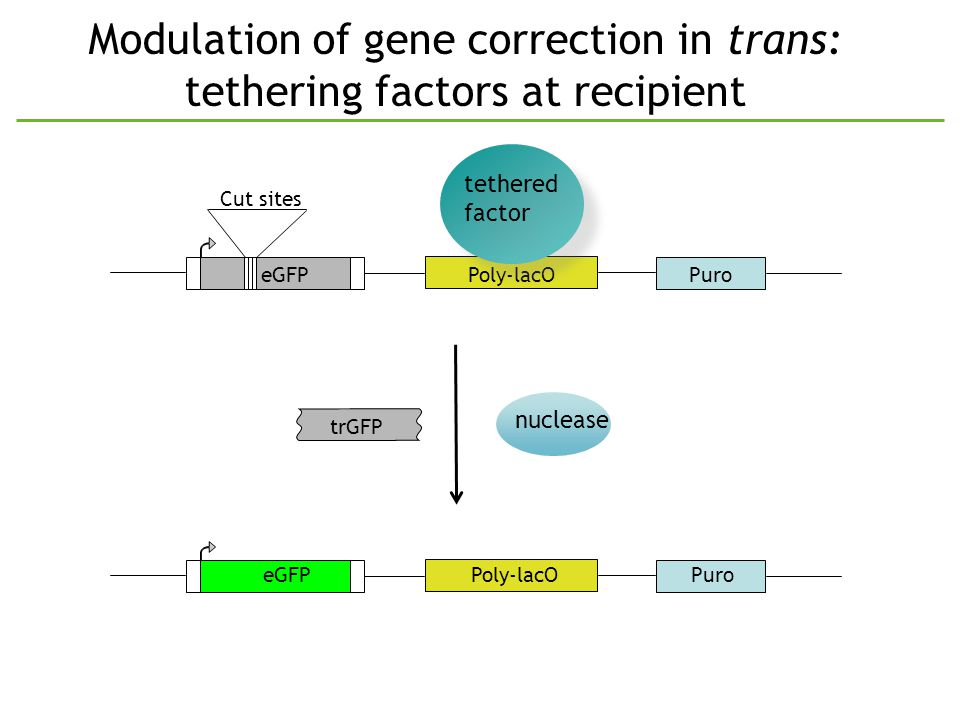 Modulation of gene correction in trans: tethering factors at recipient PuroeGFPPoly-lacO Cut sites trGFP nuclease tethered factor tethered factor PuroeGFPPoly-lacO