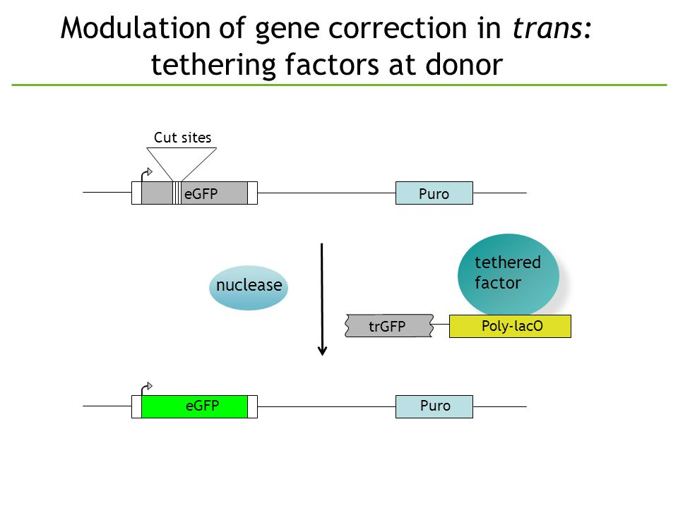 Modulation of gene correction in trans: tethering factors at donor PuroeGFP Cut sites trGFP nuclease tethered factor tethered factor PuroeGFP Poly-lacO