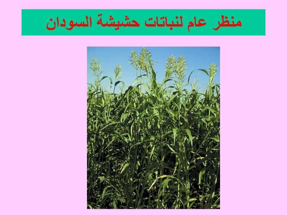 منظر عام لنباتات حشيشة السودان