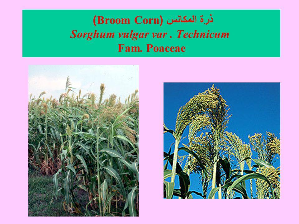 ذرة المكانس (Broom Corn) Sorghum vulgar var. Technicum Fam. Poaceae