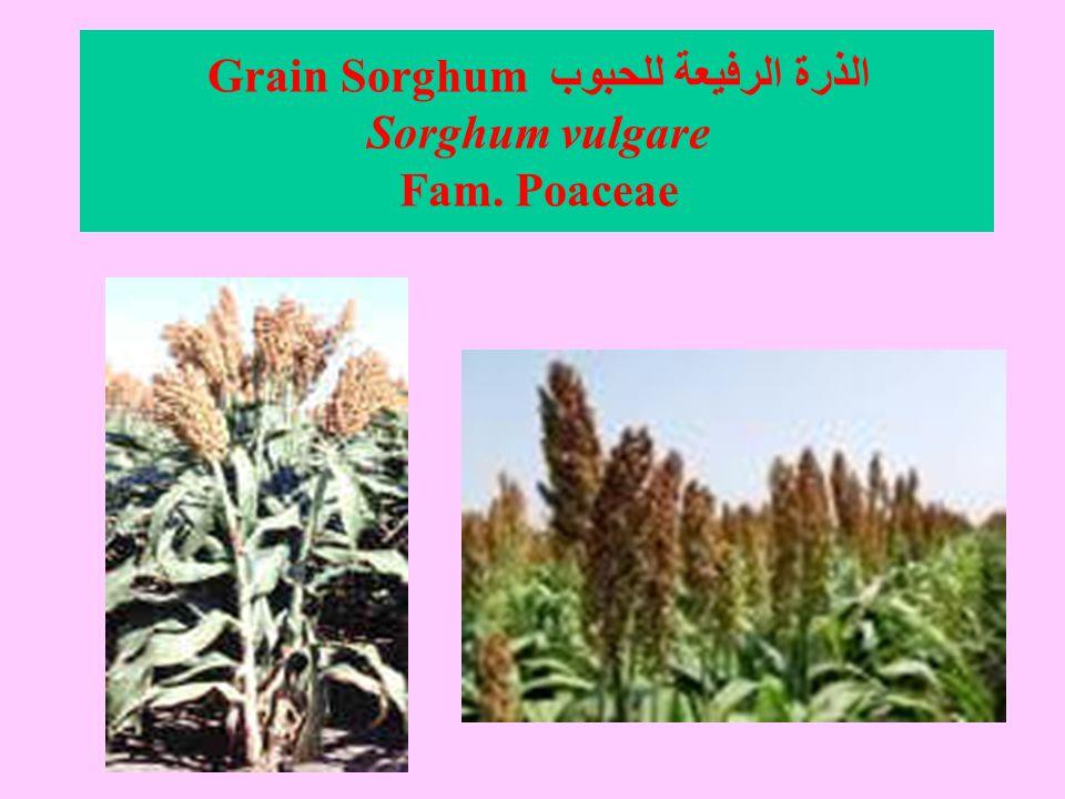 الذرة الرفيعة للحبوب Grain Sorghum Sorghum vulgare Fam. Poaceae