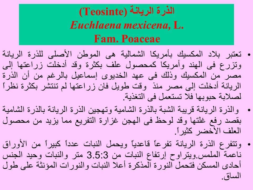 الذرة الريانة (Teosinte) Euchlaena mexicena, L.Fam.