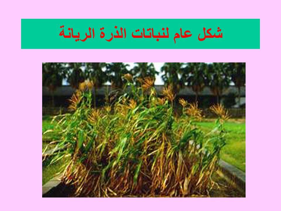 شكل عام لنباتات الذرة الريانة