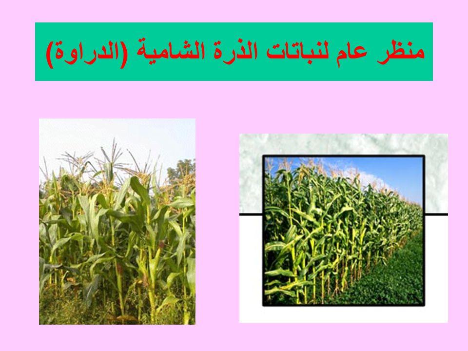 منظر عام لنباتات الذرة الشامية ( الدراوة )