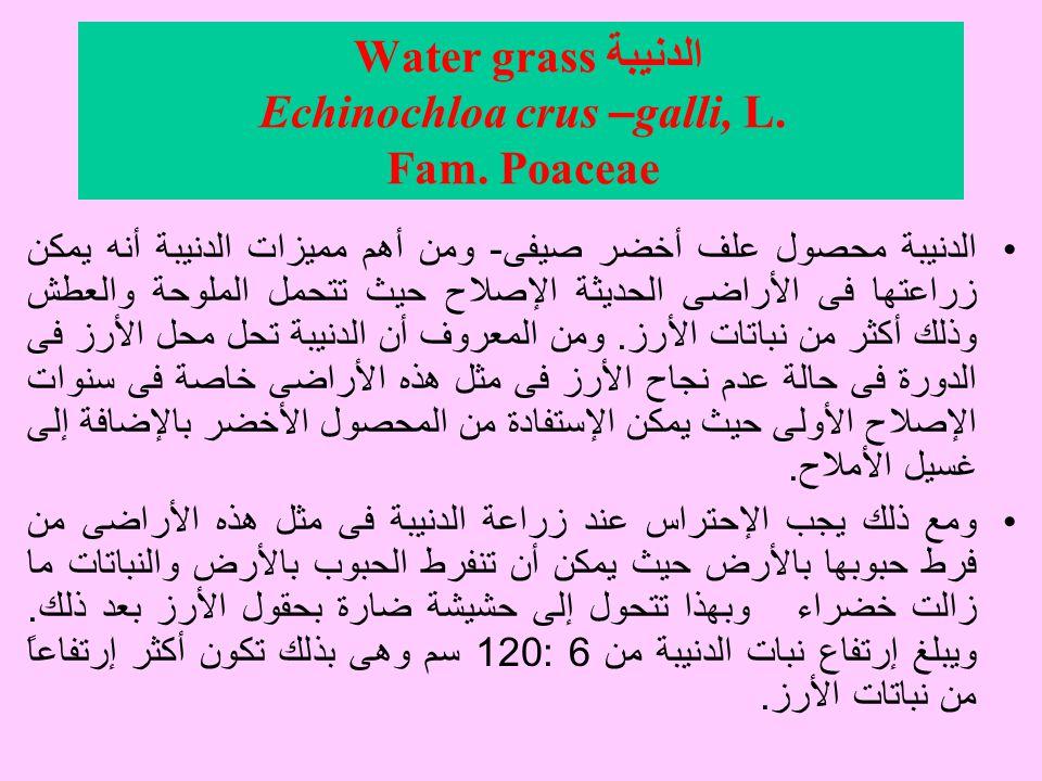 الدنيبة Water grass Echinochloa crus – galli, L.Fam.