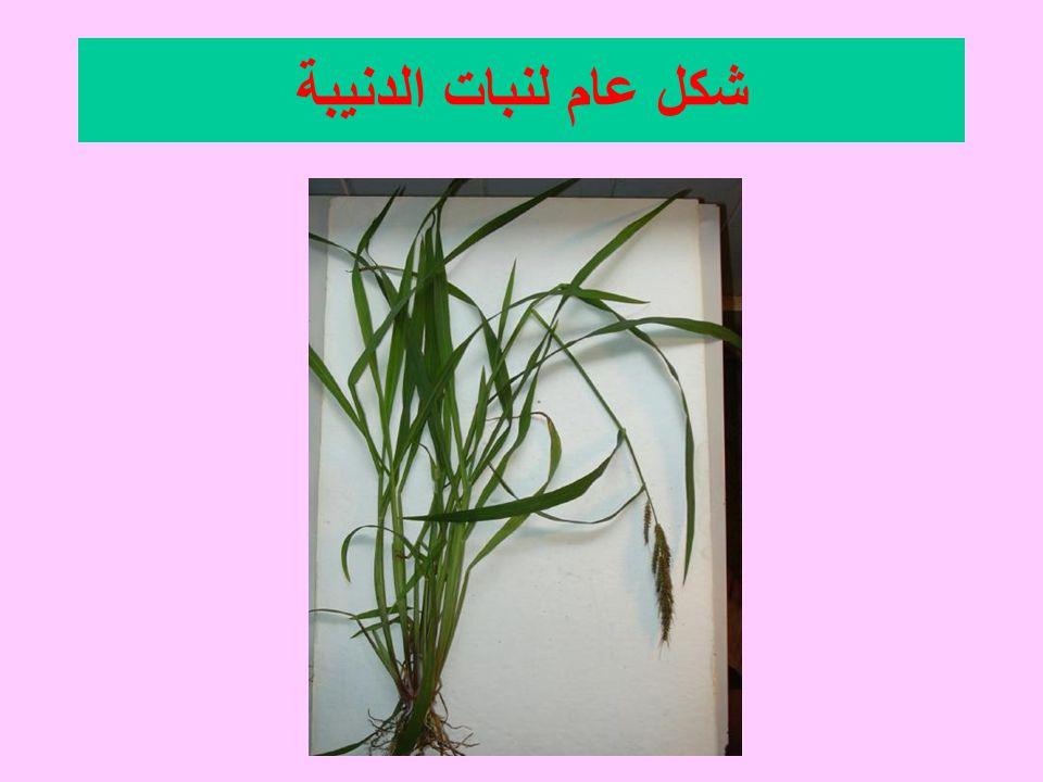 شكل عام لنبات الدنيبة