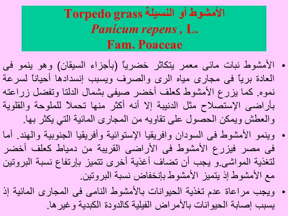 الأمشوط أو النسيلة Torpedo grass Panicum repens, L.