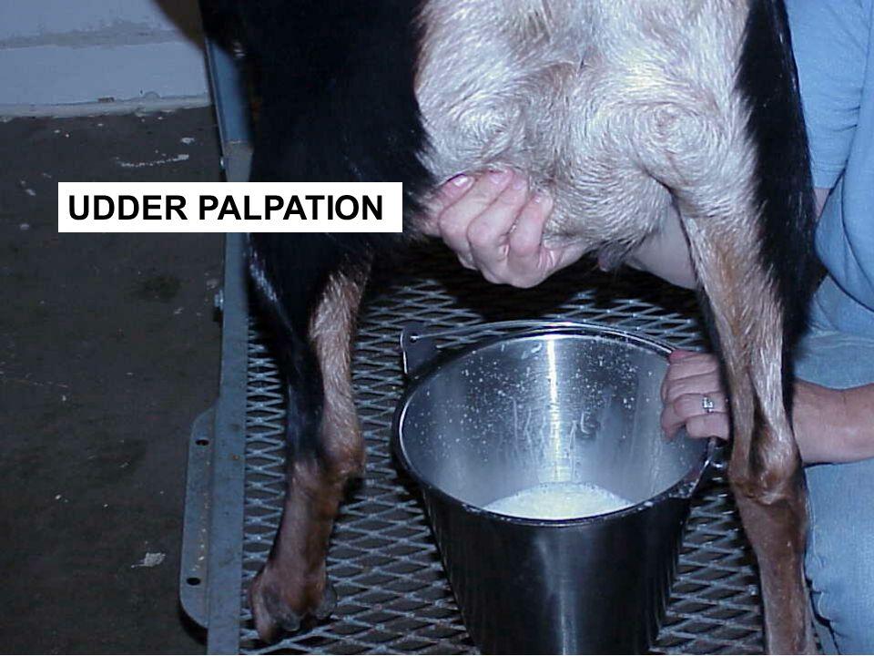 UDDER PALPATION