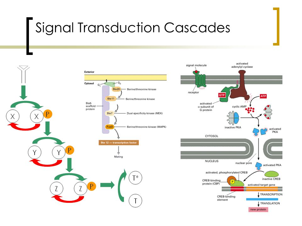 Signal Transduction Cascades