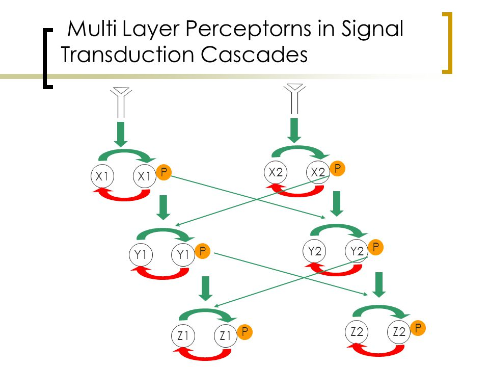 X1 P Y1 P Z1 P X2 P Y2 P Z2 P Multi Layer Perceptorns in Signal Transduction Cascades