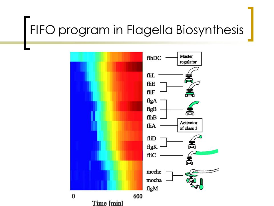 FIFO program in Flagella Biosynthesis