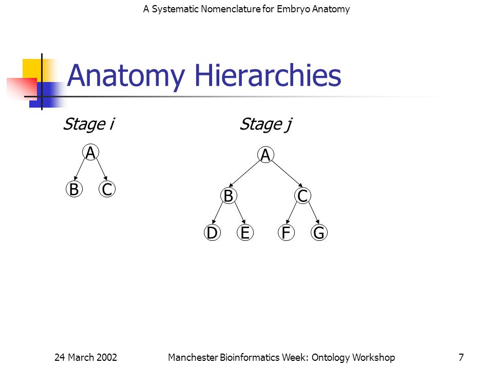 A Systematic Nomenclature for Embryo Anatomy 24 March 2002Manchester Bioinformatics Week: Ontology Workshop7 Anatomy Hierarchies A BC Stage i A BC DEFG Stage j