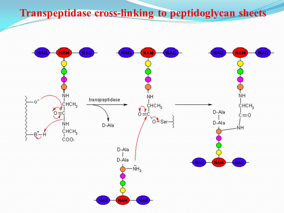 Transpeptidase cross-linking to peptidoglycan sheets