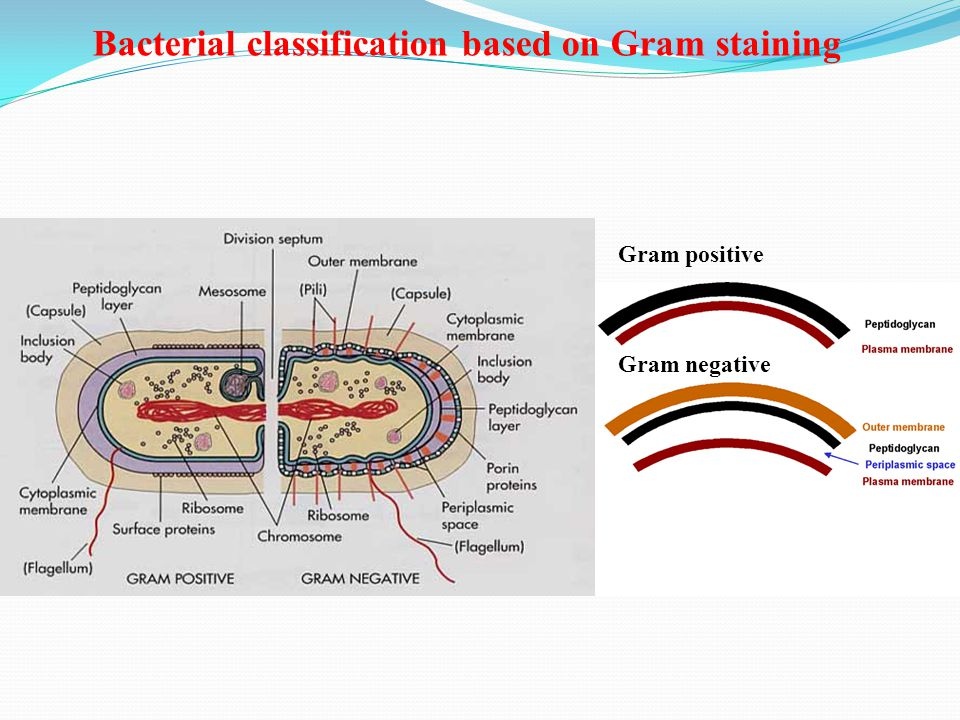 Gram positive Gram negative Bacterial classification based on Gram staining