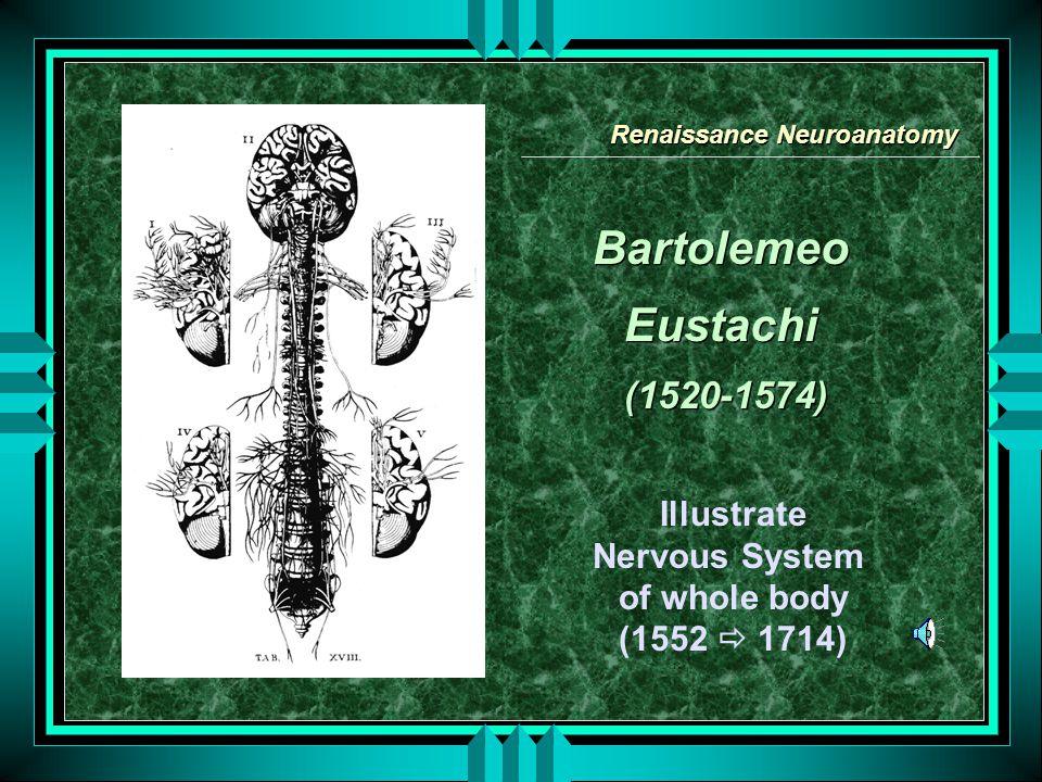 Bartolemeo Eustachi (1520-1574) Bartolemeo Eustachi (1520-1574) Illustrate Nervous System of whole body (1552  1714) Renaissance Neuroanatomy