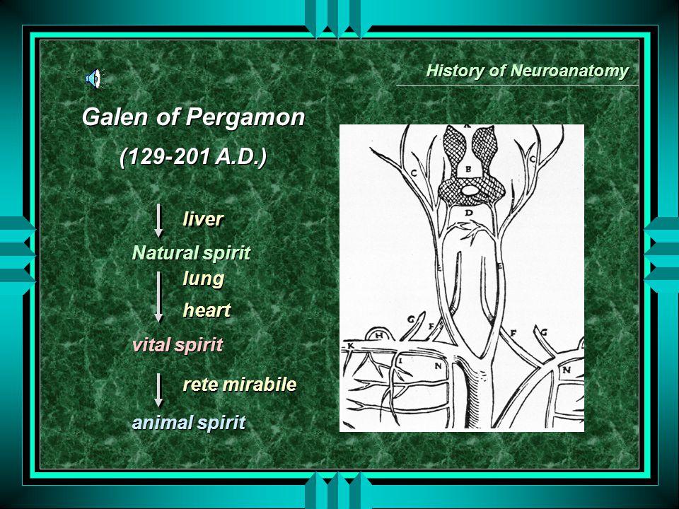 Galen of Pergamon (129-201 A.D.) Galen of Pergamon (129-201 A.D.) History of Neuroanatomy Natural spirit vital spirit animal spirit Natural spirit vital spirit animal spirit lung heart rete mirabile lung heart rete mirabile liver