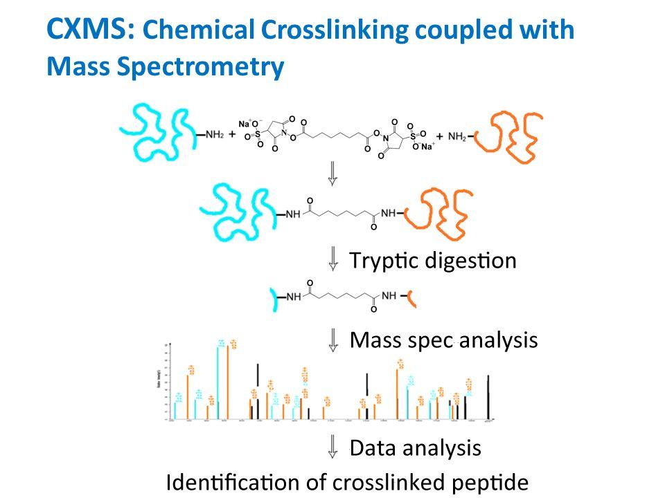 IP with CXMS Identified Direct Binding Proteins of FIB-1 GFP IP + Crosslink Trypsin Digestion Mass Spec NTD CTD ce_Nop56 NTD CTD CD ce_Nop58 FIB-1 beads GFPMTase ce_Snu13 CD