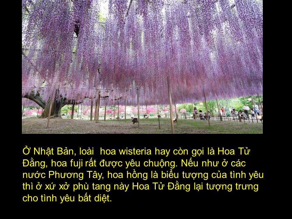 THIÊN ĐƯỜNG HOA TÌNH YÊU TẠI XỨ NHẬT Mời quý vị cùng đ ến th ă m những thảm Hoa Tử Đằng, Hoa Fuji đ ẹp tuyệt vời ở xứ Nhật Bản.