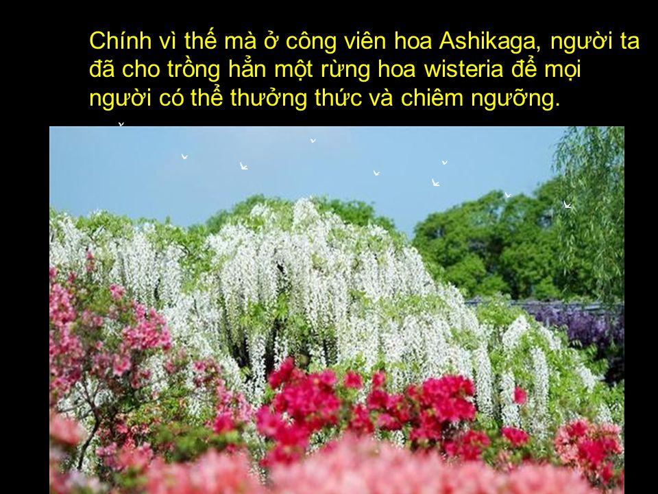 Ở Nhật Bản, loài hoa wisteria hay còn gọi là Hoa Tử Đằng, hoa fuji rất được yêu chuộng. Nếu như ở các nước Phương Tây, hoa hồng là biểu tượng của tình