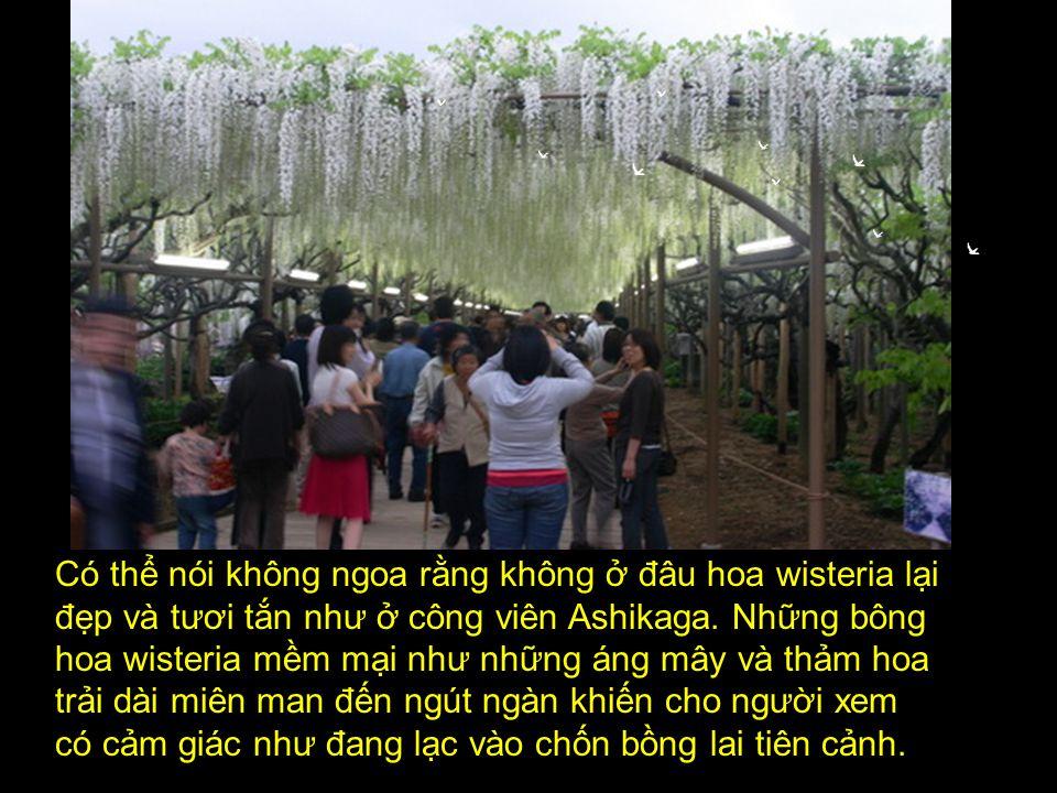 Chính vì thế mà ở công viên hoa Ashikaga, người ta đã cho trồng hẳn một rừng hoa wisteria để mọi người có thể thưởng thức và chiêm ngưỡng.