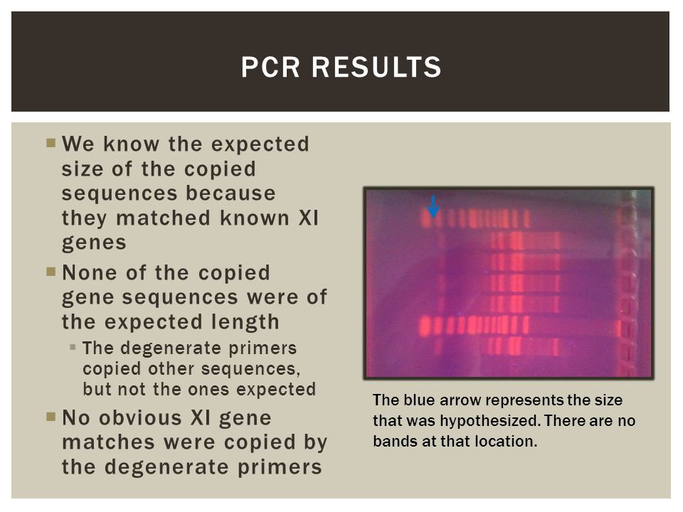  We know the expected size of the copied sequences because they matched known XI genes  None of the copied gene sequences were of the expected length  The degenerate primers copied other sequences, but not the ones expected  No obvious XI gene matches were copied by the degenerate primers PCR RESULTS The blue arrow represents the size that was hypothesized.